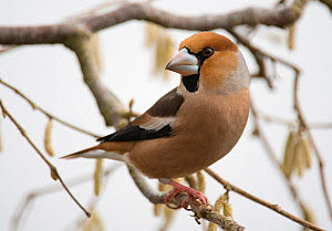 Hawfinch (Coccothraustes coccothraustes coccothraustes) male perched on branch. Lower Saxony, Germany, February.  -  Roger Powell