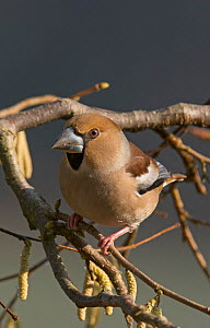 Hawfinch (Coccothraustes coccothraustes coccothraustes)  female perched on a Hazel branch (Corylus) surrounded by catkins. Lower Saxony, Germany, Febraury.  -  Roger Powell