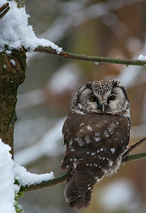 Tengmalm's owl (Aegolius funereus) sitting in a snow covered tree looking over shoulder. Captive at Bavarian Forest National Park, Bavaria, Germany. February. - Roger Powell