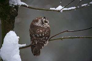 Tengmalm's owl (Aegolius funereus) sitting in a snow covered tree and looking up. Captive at Bavarian Forest National Park, Bavaria, Germany. February. - Roger Powell