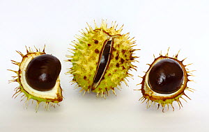 Horse chestnut tree seeds or conkers (Aesculus hippocastanum) South-west London, UK, September.  -  Russell Cooper