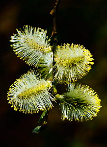 Male Goat willow catkins (Salix caprea)  South-west London, UK, April.  -  Russell Cooper