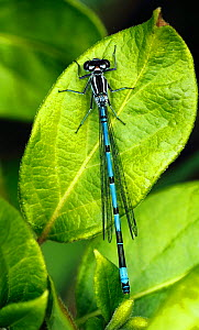 Male Azure (Coenagrion puella) damselfly resting on a leaf. May. South-west London. UK  -  Russell Cooper