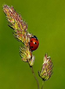 Seven spot ladybird (Coccinella 7-punctata) resting on grass seed head. South-west London, UK, June. - Russell Cooper