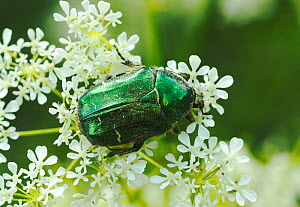 Rose Chafer (Cetonia aurata) feeding from Cow Parsley (Anthriscus sylvestris) South-west London, May. - Russell Cooper