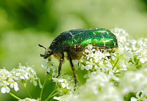 Rose Chafer (Cetonia aurata) feeding from Cow Parsley (Anthriscus sylvestris) South-west London. UK, March. - Russell Cooper