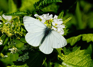 Green-veined White (Pieris napi) butterfly, male feeding from Garlic Mustard (Alliaria petiolata) flowers. South-west London. UK. April.  -  Russell Cooper