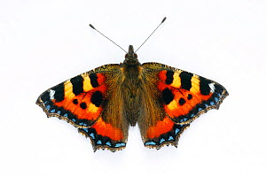 Small tortoiseshell butterfly (Aglais urticae) on white background, captive, south-west London, UK. July. - Russell Cooper