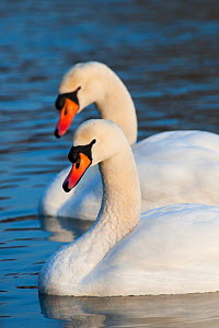 Mute swans (Cygnus olor) on water, Bavaria, Germany, February.  -  Martin Gabriel