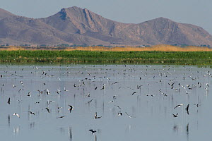 White-winged black tern (Chlidonias leucopterus) hunting, Armash fishponds, Armenia, May.  -  Martin Gabriel