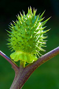 Jimson weed (Datura stramonium) fruit, Bavaria, Germany, October.  -  Martin Gabriel