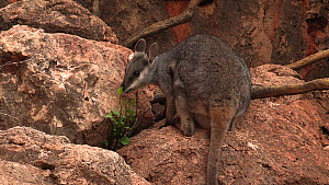 Black-footed rock wallaby (Petrogale lateralis) female feeding on leaves, Pilgonaman Gorge, Cape Range National Park, Western Australia.  -  Fred  Olivier