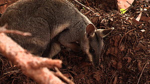 Black-footed rock wallaby (Petrogale lateralis) foraging, Pilgonaman Gorge, Cape Range National Park, Western Australia.  -  Fred  Olivier