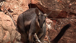 Black-footed rock wallaby (Petrogale lateralis) female scratching with joey in pouch, panning to another wallaby. Pilgonaman Gorge, Cape Range National Park, Western Australia.  -  Fred  Olivier