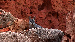 Black-footed rock wallaby (Petrogale lateralis) resting in heat, Pilgonaman Gorge, Cape Range National Park, Western Australia.  -  Fred  Olivier