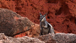 Black-footed rock wallaby (Petrogale lateralis) scratching and shaking head. Pilgonaman Gorge, Cape Range National Park, Western Australia.  -  Fred  Olivier