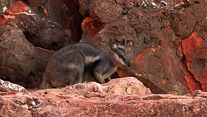Black-footed rock wallaby (Petrogale lateralis) grazing on leaves, Pilgonaman Gorge, Cape Range National Park, Western Australia.  -  Fred  Olivier