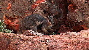 Black-footed rock wallaby (Petrogale lateralis) grazing on leaves. Pilgonaman Gorge, Cape Range National Park, Western Australia.  -  Fred  Olivier