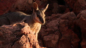 Black-footed rock wallaby (Petrogale lateralis) moving over rocks in sunshine. Pilgonaman Gorge, Cape Range National Park, Western Australia.  -  Fred  Olivier