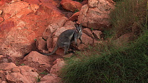 Black-footed rock wallaby (Petrogale lateralis) feeding on grass. Pilgonaman Gorge, Cape Range National Park, Western Australia.  -  Fred  Olivier