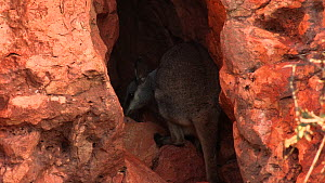 Black-footed rock wallaby (Petrogale lateralis) smelling rocks inside cave. Pilgonaman Gorge, Cape Range National Park, Western Australia.  -  Fred  Olivier