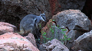 Black-footed rock wallaby (Petrogale lateralis) feeding on leaves and looking around. Pilgonaman Gorge, Cape Range National Park, Western Australia.  -  Fred  Olivier