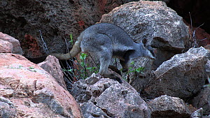 Black-footed rock wallaby (Petrogale lateralis) feeding on leaves then moving away into cave. Pilgonaman Gorge, Cape Range National Park, Western Australia.  -  Fred  Olivier