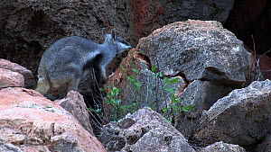 Black-footed rock wallaby (Petrogale lateralis) feeding, Pilgonaman Gorge, Cape Range National Park, Western Australia.  -  Fred  Olivier
