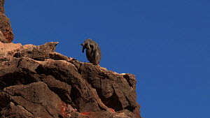 Black-footed rock wallaby (Petrogale lateralis) grooming on top of rocks with blue sky, Pilgonaman Gorge, Cape Range National Park, Western Australia.  -  Fred  Olivier