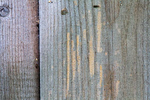 Planks on building showing feeding marks of wasps and hornets, which chew the wood to make pulp for their nests. Sussex, UK, May.  -  Simon  Colmer