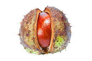 Conker or Horse chestnut (Aesculus hippocastanum) in case, on white background. September.  -  Simon  Colmer