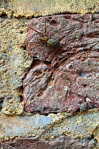 House spider (Tegenaria  sp.) female on wall, Sussex, UK, May.  -  Simon  Colmer
