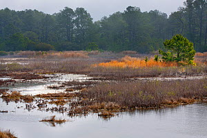 Marshland with maritime forest, Black Duck Pool, Chincoteague. National Wildlife Refuge, Assateague Island, Virginia, USA. March 2012.  -  Simon  Colmer