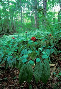Ginseng plants (Panax ginseng) in forest, Amur Region, Russia. - Vladimir  Medvedev