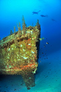 Divers exploring the wreck of the P29 patrol boat scuttled as an artificial dive site in August 2007. Wreck covered in algae and invertebrates. Malta, Mediterranean Sea. June 2014. - Pascal Kobeh