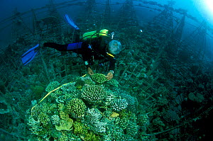 Diver exploring 'Lotus' artificial reef, built in 2001 with a steel frame using mild electric currents to encourage coral growth. Vabbinfaru Island in North Male Atoll, Maldives, Indian Ocean. Septemb... - Pascal Kobeh
