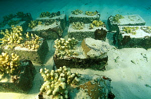 Corals glued with concrete and placed in warmer shallower waters to test how they respond to the increase in temperature, Vabbinfaru Island, North Male Atoll, Maldives, Indian Ocean. September 2005.  -  Pascal Kobeh