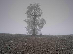 European white elm (Ulmus laevis) tree covered by hoarfrost, Picardy, France, January.  -  Pascal  Tordeux