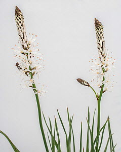 White asphodel (Asphodelus albus) flowers against white background, Queyras, France - Pascal  Tordeux