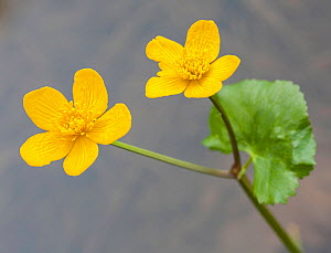 Marsh marigold (Caltha palustris) in flower, medicinal plant, Queyras, France, June. - Pascal  Tordeux