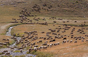 Herd of sheep near mountain stream, below Col du Restefont, Mercantour, France, August.  -  Pascal  Tordeux