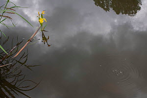 Yellow flag iris (Iris pseudacorus) in pond with reflections of  clouds, medicinal plant.  France, May. - Pascal  Tordeux
