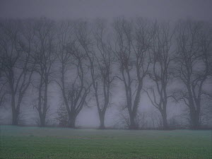 Line of trees in fog, Chamouille, Aisne, Picardy, France, November.  -  Pascal  Tordeux