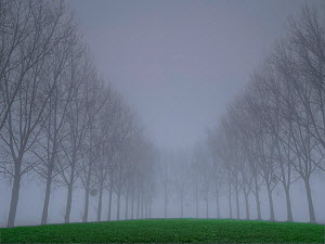 Avenue of Poplar (Populus sp) trees in fog, Villers Le Sec, Aisne, Picardy, France, December.  -  Pascal  Tordeux