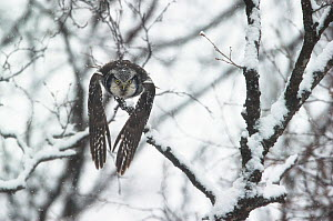 Northern hawk owl (Surnia ulula) flying through snowy forest, Finnmark, Norway. April. - Ole  Jorgen Liodden