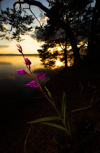 Red helleborine (Cephalanthera rubra) by lake, with silhouetted trees at sunset, Norway, July.  -  Ole  Jorgen Liodden