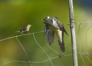 Meadow pipit (Anthus pratensis) feeding young Eurasian cuckoo (Cuculus canorus), Valdres, Norway, July.  -  Ole  Jorgen Liodden