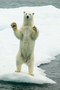 Polar bear (Ursus maritimus) waving standing on hind legs with paws raised, Svalbard, Norway, September. - Ole  Jorgen Liodden
