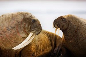 Walruses (Odobenus rosmarus) adult and young hauled on ice. Hinlopen, Svalbard, Norway, June.  -  Ole  Jorgen Liodden