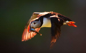 Atlantic puffin (Fratercula arctica arctica) in flight carrying sandeels and larger fish, Hornoya, Vardo, Norway, July. - Ole  Jorgen Liodden